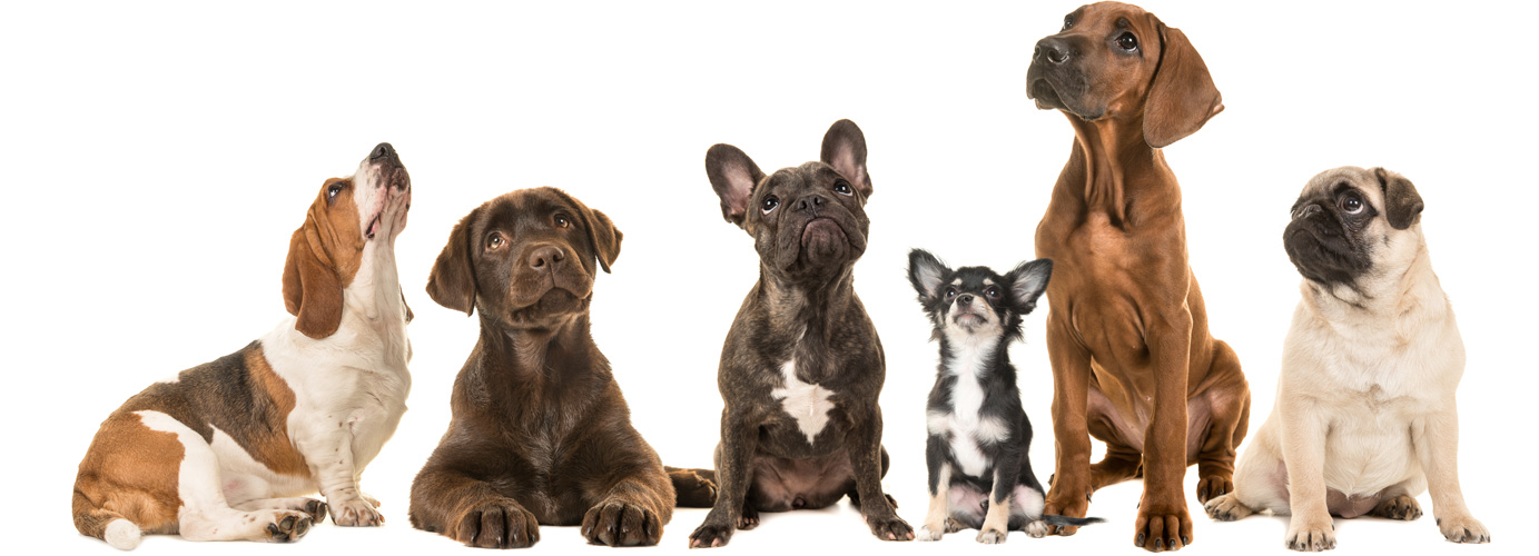 dogs online austraia purebred dogs banner